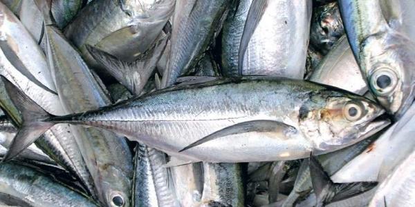 Indian oil sardine seemingly on revival path along Kerala coast:CMFRI
