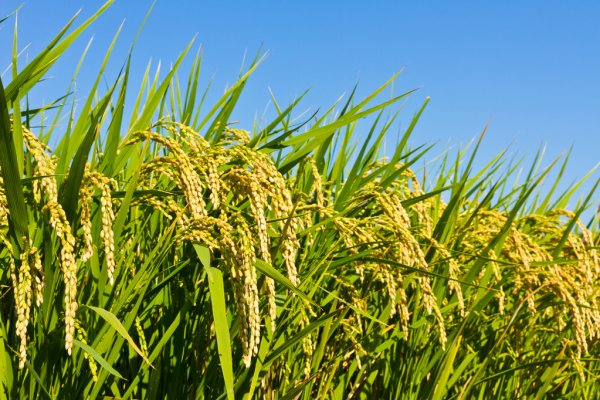 Govt procures paddy worth Rs 92,121 crore so far at MSP
